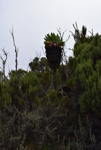 Majestic Senecio Kilimanjari which grows into small trees up to 15 ft high
